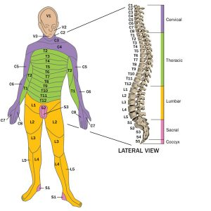 your spine